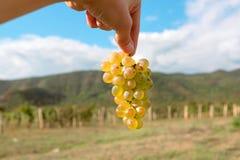 Groupe de raisins juteux dans la main d'agriculteur et le ciel bleu autour, temps de récolte images stock