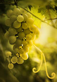 Groupe de raisins mûrs avec la vrille et les feuilles Photos stock