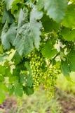Groupe de raisins non mûrs dessus dans un vignoble Photographie stock libre de droits