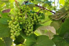 Groupe de raisins non mûrs verts Images libres de droits