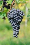 Groupe de raisins pour Barolo Image libre de droits