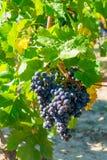 Groupe de raisins rouge accrochant dans le vignoble moissonnant la saison photos libres de droits