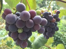 Groupe de raisins rouges Image stock