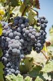 Groupe de raisins rouges sur des vignes Image stock