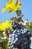 Groupe de raisins rouges sur des vignes Photographie stock