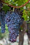 Groupe de raisins s'arrêtant sur une vigne Photographie stock