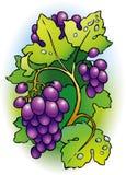 Groupe de raisins sur la vigne Images libres de droits