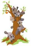 Groupe de ratons laveurs dominant un vieil arbre de kaki Photographie stock