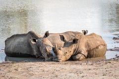 Groupe de rhinocéros blancs s'étendant dans l'eau photographie stock libre de droits