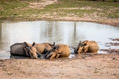 Groupe de rhinocéros blancs s'étendant dans l'eau photo stock