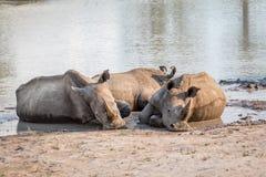 Groupe de rhinocéros blancs s'étendant dans l'eau photos libres de droits