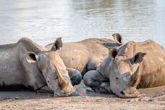 Groupe de rhinocéros blancs s'étendant dans l'eau images stock