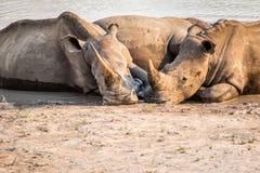 Groupe de rhinocéros blancs s'étendant dans l'eau photos stock