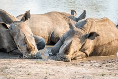 Groupe de rhinocéros blancs s'étendant dans l'eau photo libre de droits