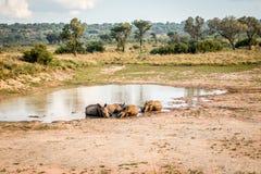 Groupe de rhinocéros blancs s'étendant dans l'eau photographie stock
