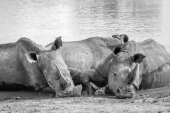 Groupe de rhinocéros blancs s'étendant dans l'eau image stock