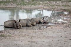 Groupe de rhinocéros blancs s'étendant par l'eau photos libres de droits