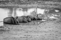 Groupe de rhinocéros blancs s'étendant par l'eau photo libre de droits