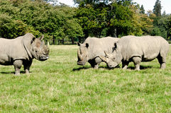 Groupe de rhinocéros Photos stock