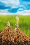 Groupe de riz de jasmin de paddy Photo libre de droits