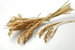 Groupe de riz mûr d'oreilles photo stock