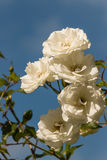 Groupe de roses blanches Photo stock