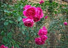 Groupe de roses roses de floraison à l'automne Photos libres de droits