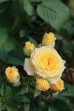 Groupe de roses jaunes Photo stock