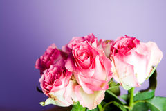 Groupe de roses roses Images stock