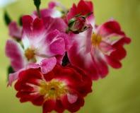 Groupe de roses roses de floraison Photo libre de droits