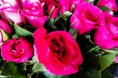 Groupe de roses rouges pour le jour du ` s de Valentine, bouquet de roses, carte de Valentine Photos stock