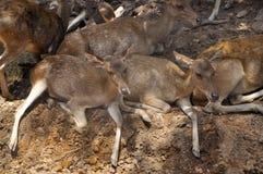 Groupe de séance de cerfs communs Image stock