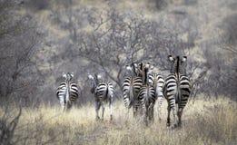 Groupe de ` s de zèbre de postérieur dans le paysage de faune de buisson photographie stock libre de droits