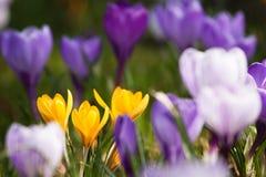 Groupe de safran mélangés de couleurs Images stock