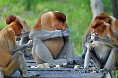Groupe de singes de buse Photos stock
