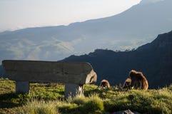 Groupe de singes de Gelada dans les montagnes de Simien, Ethiopie photographie stock