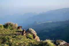 Groupe de singes de Gelada dans les montagnes de Simien, Ethiopie images libres de droits
