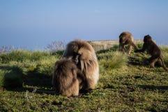 Groupe de singes de Gelada dans les montagnes de Simien, Ethiopie photo libre de droits