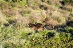 Groupe de singes de Gelada dans les montagnes de Simien, Ethiopie images stock