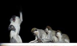 Groupe de singes se reposant dans une rangée près de l'un l'autre comme la légère brûlure Photographie stock libre de droits