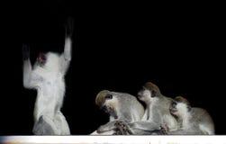 Groupe de singes se reposant dans une rangée près de l'un l'autre comme la légère brûlure Photos libres de droits