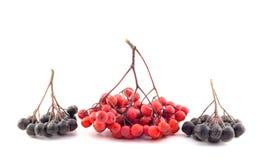 Groupe de sorbe rouge et noire sur un fond blanc Photographie stock
