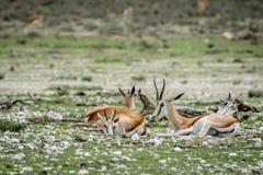 Groupe de springboks s'étendant dans l'herbe Photo stock