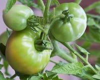 Groupe de tomates non mûres images libres de droits