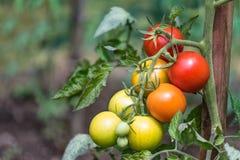 Groupe de tomates rouges à différentes phases de la maturation Lycopersicum de solanum photo libre de droits