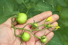 Groupe de tomates vertes sur une main images libres de droits