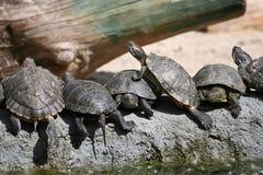 Groupe de tortues rouge-à oreilles de glisseur dans le zoo Photos stock