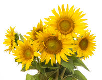 Groupe de tournesols photo stock