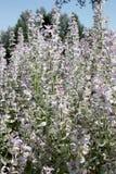 Groupe de transitoires florales de sauge de clary avec des pétales dans la lavande légère et le blanc Images libres de droits
