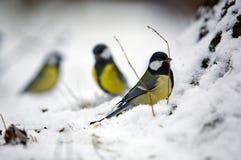 Groupe de trois oiseaux de l'hiver photographie stock